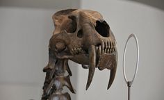 Sabre-toothed tiger skull