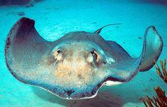 Southern Atlantic stingray (Dasyatis americana), Cayman Islands. Dr. Zoltan Takacs.