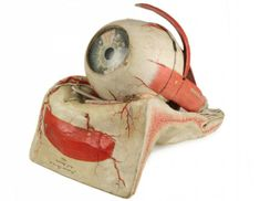 Anatomical Model Eye by Dr Auzoux - Phisick | Medical Antiques  lots of cool medical antiques on this site, with tons of pics