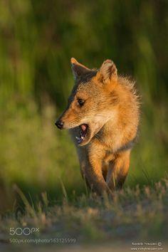 Golden jackal by RiccardoTrevisani via http://ift.tt/29W3AtC