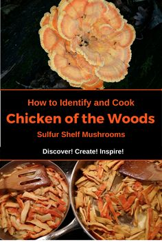 How to Identify and Cook Chicken of the Woods Sulfur Shelf Mushroom, Laetiporus sulphureus, Laetiporus Cincinnatus from Discover! wild mushrooms, how to cook mushrooms Edible Wild Mushrooms, Garden Mushrooms, Growing Mushrooms, Stuffed Mushrooms, Cook Mushrooms, Healthy Eating Tips, Healthy Recipes, Chicken Of The Woods, Edible Wild Plants