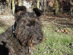 Piola -- calm gentle senior Bouv is an adoptable Bouvier Des Flanders Dog in Davis, CA. Piola, calm gentle senior Bouvier mix Pi is very sweet and gentle with people, very well behaved in house, car, ...