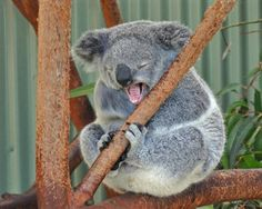Featherdale Wildlife Park: Sleepy Koala #Sydney #Australia http://www.tripadvisor.com.au/ShowForum-g255060-i122-Sydney_New_South_Wales.html