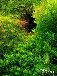 Close-up of Rotala sp green and Pogostemon erectus.  #Aquaflora #Aquascaping…