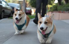 Their perfect (and hilarious) little tongues stick out in preparation for a lit'ral slobfest. | WARNING: THESE CORGIS ARE COMING FOR YOU