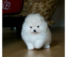 Genuine Top show KC reg Pomeranian puppies available is a Pomeranian Puppy For Sale in Denver CO