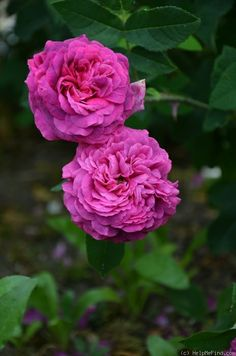 Rosa gallica 'Velours Pourpre' (Netherlands, before 1811)