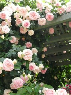 incredible roses growing on a green painted trellis.