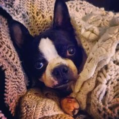 Boston in a blanket