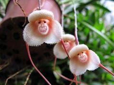 Houlian orchid Orkide Monkey face dragons Blue 100 st Frön Fri Frakt