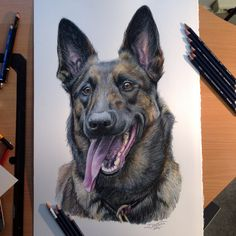 Belgian Malinois Color Pencil Drawing by AtomiccircuS.deviantart.com on @deviantART