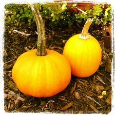 11 Pumpkin Recipes that you will love  http://www.stockpilingmoms.com/2012/11/everything-pumpkin-pin-it/