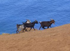 Untouched by other goat species. Pitcairn Islands, Underwater, Goats, Animals, Animales, Animaux, Under The Water, Animal, Animais