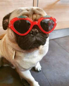 Pug Puppies, Pugs, Boston Terriers, Pug Love, Mans Best Friend, Bulldogs, Pitbulls, Dog Cat, Cute Animals