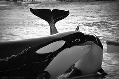 Orca cuddles.