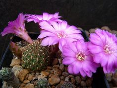 Sulcorebutia naunacaensis 14 | por buenovic