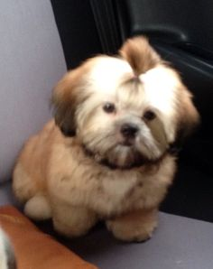After grooming Shih Tzu, Pepper, Barbie, Dogs, Animals, Animais, Animales, Animaux, Doggies