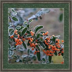 Jenny Rainbow Fine Art Photography Framed Print featuring the photograph Firethorn in Hoar Frost by Jenny Rainbow Framing Photography, Fine Art Photography, Framed Artwork, Framed Prints, Wall Art, Fashion Room, Frame Shop, Art Techniques, Clear Acrylic