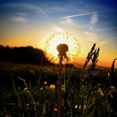 sunlit dandelion