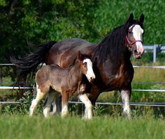 Clydesdale Horse   Iron Horse MM Steele - born May 28 2012