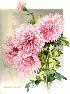 'October'; 9th color floral plate from the book 'The Golden Flower Chrysanthemum'