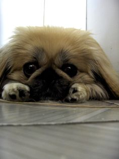 looks like dog I used to have. Cute Pekingese.