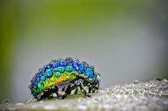 Dew covered beetle