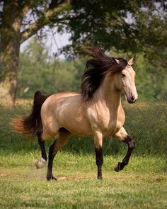DEM Conquistador buckskin Lusitano stallion cantering underneath tree by AislingH Cute Horses, Pretty Horses, Horse Love, Majestic Horse, Majestic Animals, Horse Photos, Horse Pictures, Most Beautiful Horses, Animals Beautiful