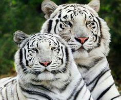 Tigers with a look of royalty.