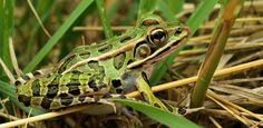 New species of Leopard Frog found in NYC. Who knew?1!