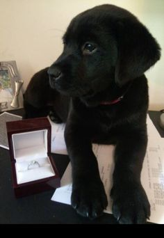 Puppy sitting next to an engagement ring, this is how a guy must propose, but in a more romantic setting