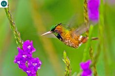 "https://www.facebook.com/WonderBirdSpecies/ Black-crested coquette (male)(Lophornis helenae); Belize, Costa Rica, Guatemala, Honduras, Mexico, and Nicaragua; IUCN Red List of Threatened Species 3.1 : Least Concern (LC)(Loài ít quan tâm) <("") Chim ruồi coquette mào đen (trống); Belize, Costa Rica, Guatemala, Honduras, Mexico và Nicaragua; HỌ CHIM RUỒI - TROCHILIDAE (Hummingbirds)."