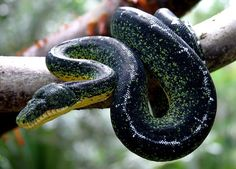 Black Emerald Tree Boa Morph