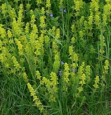 CROSSWORT, CRUCIATA LAEVIPES Crosswort is one of the bedstraw plants and is related to Lady's Bedstraw  or Yellow Bedstraw. In fact it is ...
