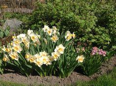 18.5 lämmin päivä, yli 20 astetta varjossa. Narsissit ja hyasintit kukkivat