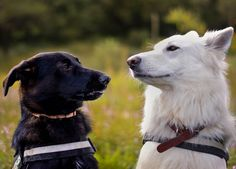 Dog talks #white #swiss #shepherd #yummypets