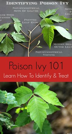 How to identify, avoid, prevent and treat poison ivy. Includes ways to help prevent getting a rash if you come in contact with poison ivy! Poison Ivy Killer, Kill Poison Ivy, Poison Oak, Identify Poison Ivy, Poison Ivy Plants, Poison Ivy Leaves, Poison Ivy Remedies, Poison Ivy Costumes, Tips
