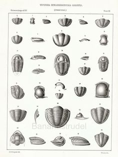 1888 Antique Paleontology Lithograph of by bananastrudel on Etsy