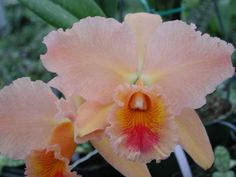 Cattleya Clones: Blc. George King 'Serendipity', AM/AOS