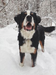 Bernese Mountain Dog Snow