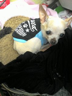 9dd457cd65dcf Tea cup chihuahua looks so sweet in its shirt – Adorable pictures of dogs  wearing clothes