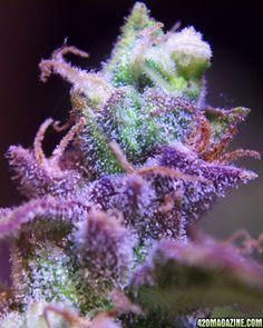 purple bud  ( marijuana cannabis )