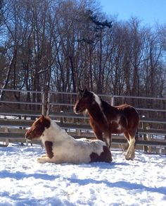 Best friends. Takoda, one of our BLM mustangs, always watches over Finn, (a little colt rescued from a neglect case, Sept '13) while he naps. Takoda is still shy with people, so having such a good friend is comforting for him.