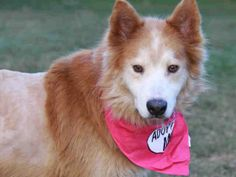 #FLORIDA #URGENT ~ Mannie ID A147625 is a Spayed Husky mix in need of a loving #adopter / #rescue at TALLAHASSEE ANIMAL SERVICES 1125 Easterwood Dr  #Tallahassee FL 32311 Ph 850-891-2950