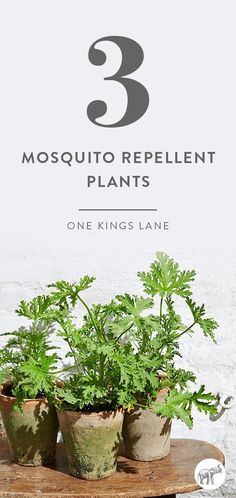 Outdoor entertaining is one of the great joys of spring and summer. Until, of course, the bugs invade. In place of spray and pesticides, try a cluster of mosquito-repelling potted plants.