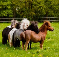 I want to hang out with this gang of cuties ❤️ - Pferde - meine Leidenschaft, Teil Shetland Ponys, ®™ - Horse Pretty Horses, Horse Love, Beautiful Horses, Animals Beautiful, Tiny Horses, Horses And Dogs, Black Horses, Cute Baby Animals, Animals And Pets