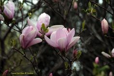 When we focus our attention, or the camera lens for that matter, on a small gathering of magnolia blooms, we are impressed with the 'mystery' they create... it's interesting that mystery is such an important aspect of the overall garden design, and yet its power to enthrall can occur in what is essentially a small bouquet of  'like-minded' blooms.