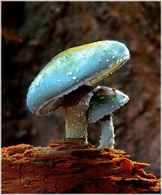 Verdigris Agaric Mushrooms (Stropharia Aeruginosa)