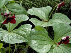 plantes d'ombre jardin- conseils et photos- trillium rouge
