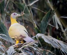 Yellow footed -the elusive one.